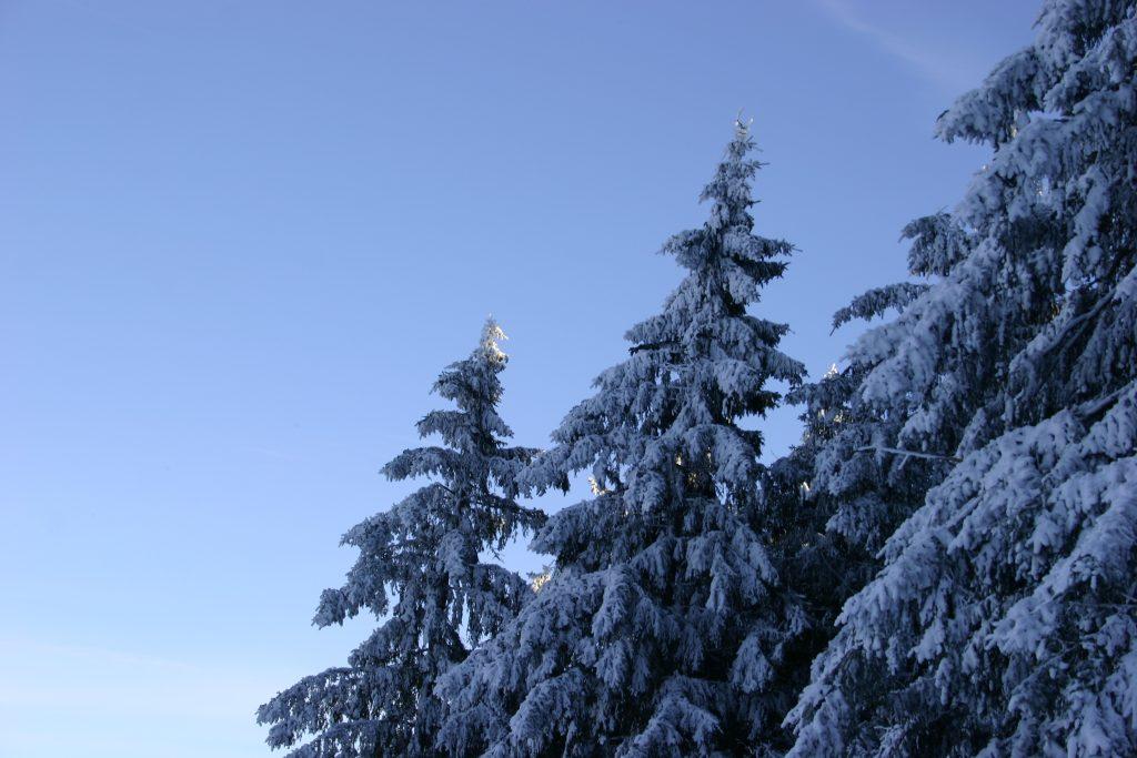 Besneeuwde bomen in Willingen.